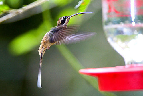 Long tail Hummingbird - Creative Commons Images from PhotoPin